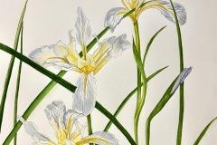 Wild Iris, Phyllis Orzalli