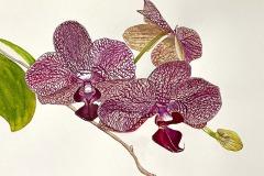 Backyard Orchid, Phyllis Orzalli